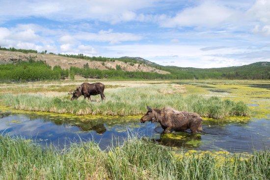 Älgar i Yukon
