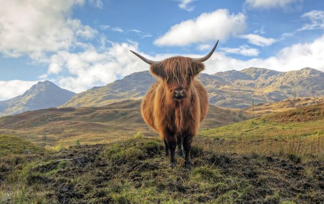Skotska höglandet - ko