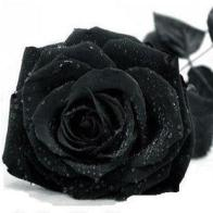 svart ros